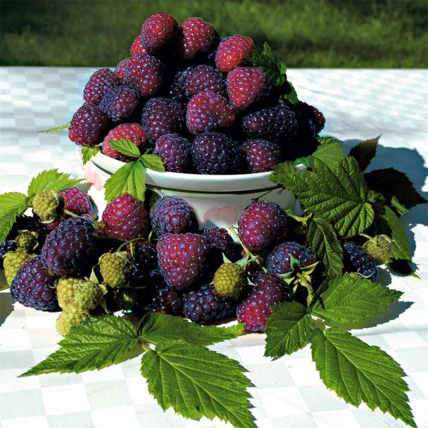 'Purple Raspberry'