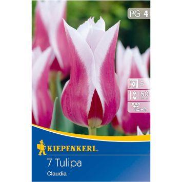 Tulpe `Claudia` - Blumenzwiebel