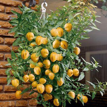 Balkon-Honig-Melone 'Pepino-Gold'