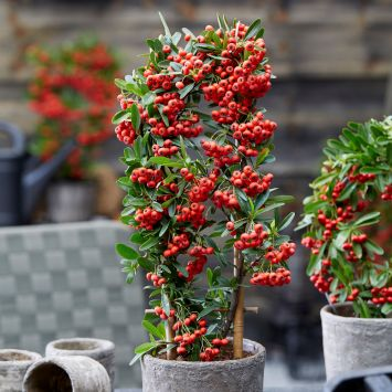 Pyracantha Red Star