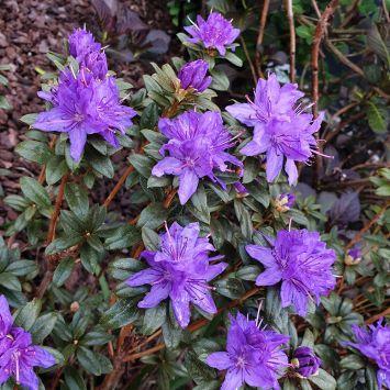 Rhododendron Gletschernacht
