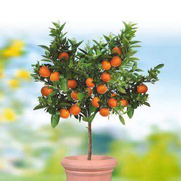 Echter Mandarinenbaum 'Portofino'