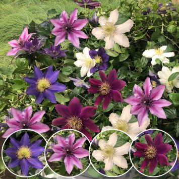 Clematis River Dance-Mix