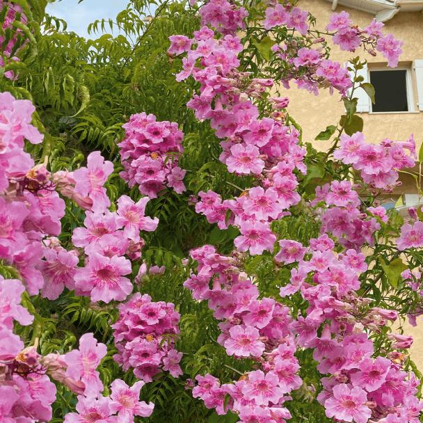 Sternjasmin Rosa