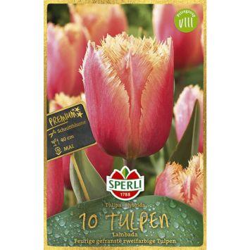 Gefranste Tulpen 'Lambada'