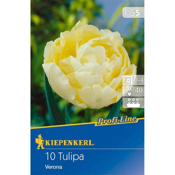 Tulpe Verona