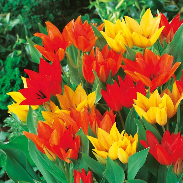 Mehrblütige botanische Tulpenmischung