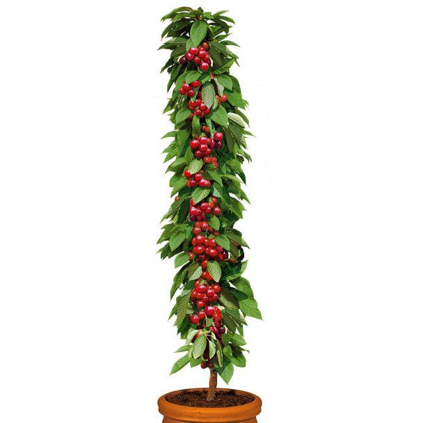 Säulenobstbaum Süßkirsche 'Queen Mary', einjährig