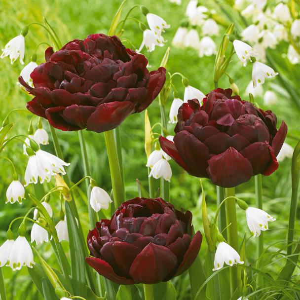 Tulpe Fairy Nights 4 Tulpen + 11 Märzenbecher