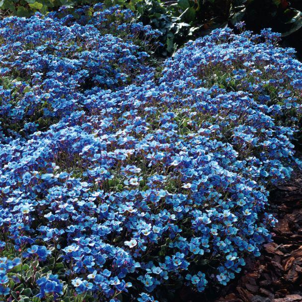 Blaukissen Blau