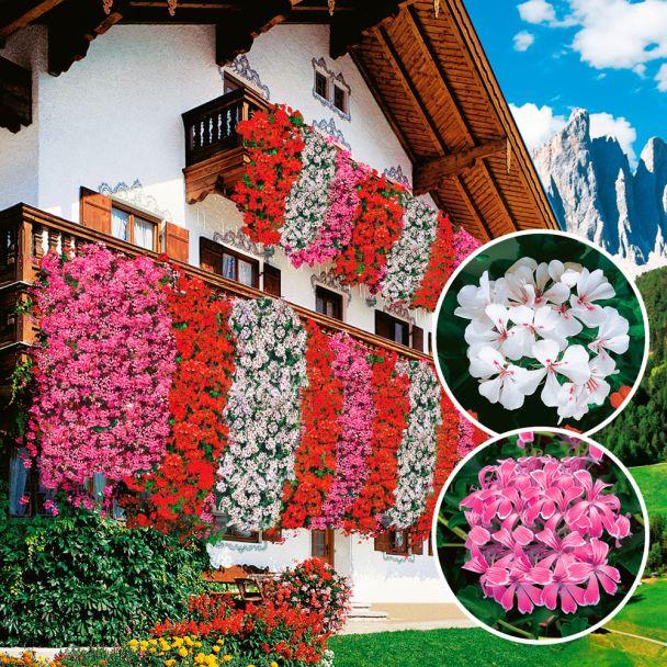 Echte Tiroler Hänge-Geranien 'Tirolia': Farbduo (3 x Pink und 3 x Weiß)
