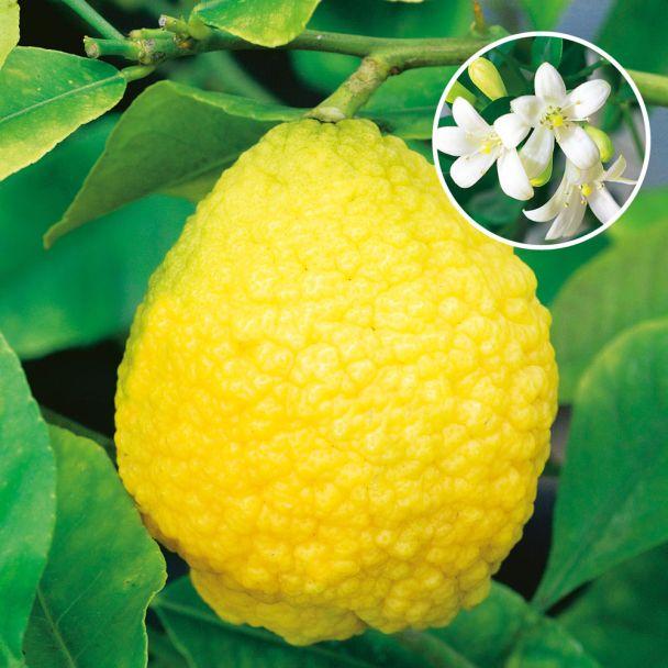 Zitronatzitrone 'Cedri'