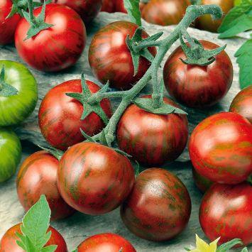 Tomate 'Zebrino'