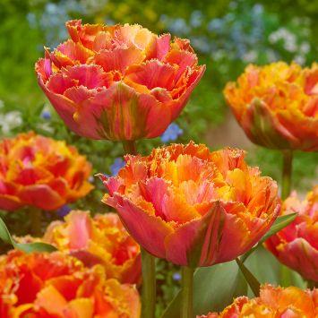 Crispa Tulpe Royale