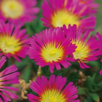 Wheels of Wonder® 'Hot Pink Wonder'