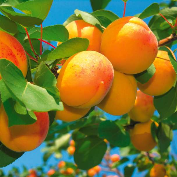 Edel-Mini-Aprikosenbaum