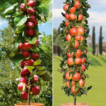 Set-Preis: 2 Säulen-Äpfel: 1 x 'Redcats®', einjährig, 1 x 'Starcats®', einjährig