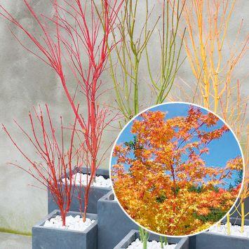 Japanischer Ahorn, Acer palmatum Sangokaku