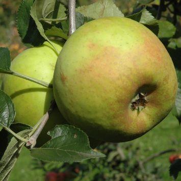 Apfel 'Goldrenette von Blenheim' - Apfelbaum