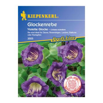 Glockenrebe 'Violette Glocke'