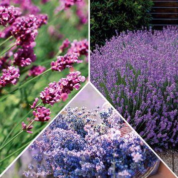 Set-Preis 9 x Lavendel: 3 x 'Essence Purple', blau, 3 x 'Rosea', rosa + 3 x  'Hidcote', violett