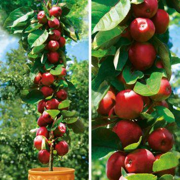 Säulenobstbaum Apfel Redcats®, zweijährig