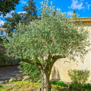Winterharter Olivenbaum 'Orvieto'