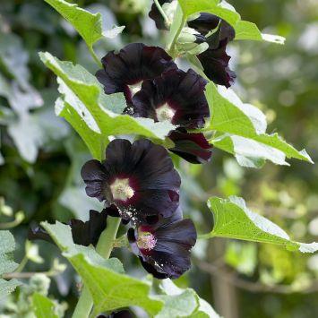 Schwarze Stockrose