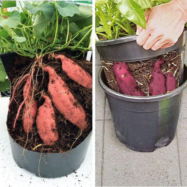 Set-Preis: 3 Süßkartoffel Rosa + 1 PotatoPot® im Sparpaket