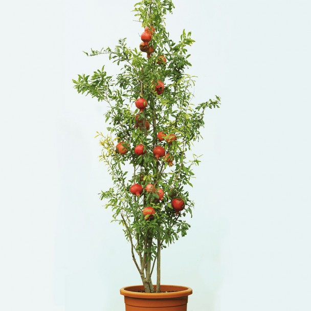 Echter Granatapfel