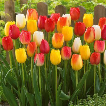 35 Tulpen Mix Artist Palette
