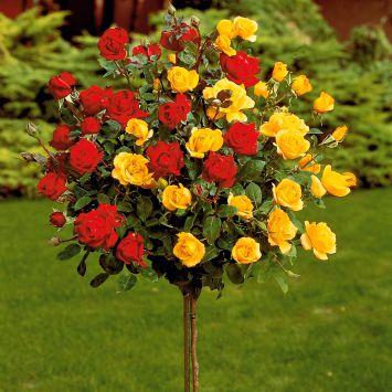 Bicolor-Rose, rot-gelb