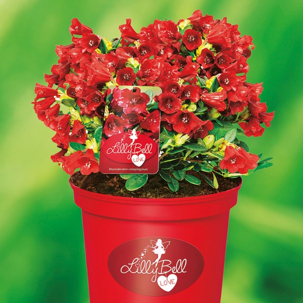 Zwerg-Rhododendron Lilly Bell 'Love'