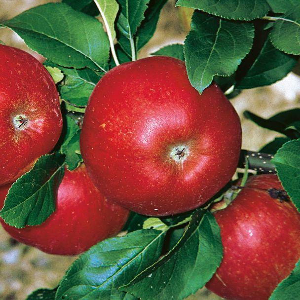 Apfelbaum 'Santana'