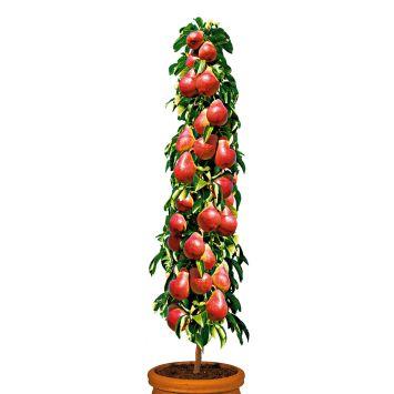 Säulenobstbaum Birne 'Decora', einjährig