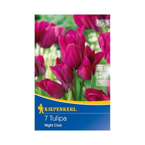 Mehrblütige Tulpen `Night Club` - Blumenzwiebel