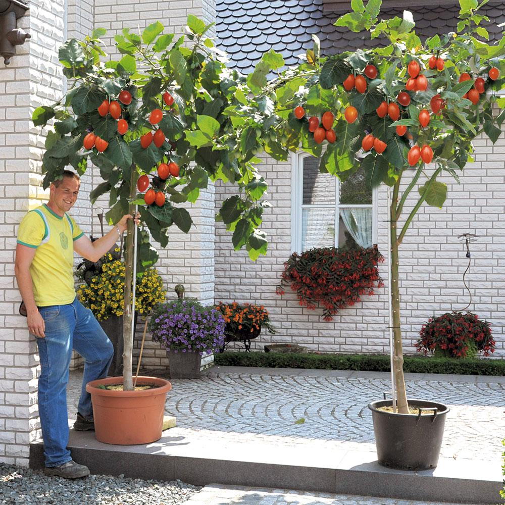 RIESEN-TOMATE  BAUM-TOMATE  10 Korn  frische Tomatensamen  Rarität X7X9
