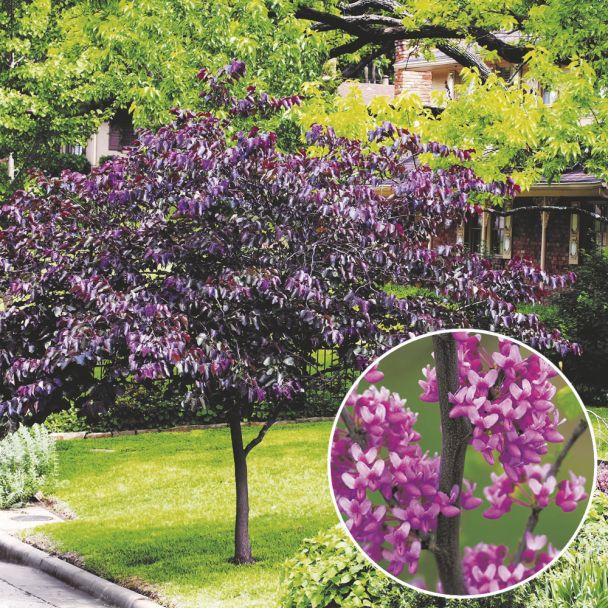 Forest Pansy - Kanadischer Judasbaum
