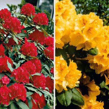 Set-Preis: 2 x Riesenblütige Rhododendron-Hybriden