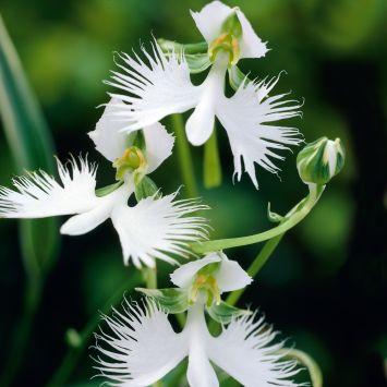 Asiatische weiße Vogelblume