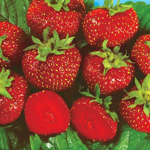 Erdbeere 'Asia' - Setzlinge