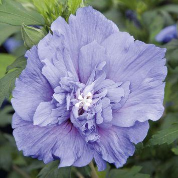 Hibiskus 'Blue Chiffon®'