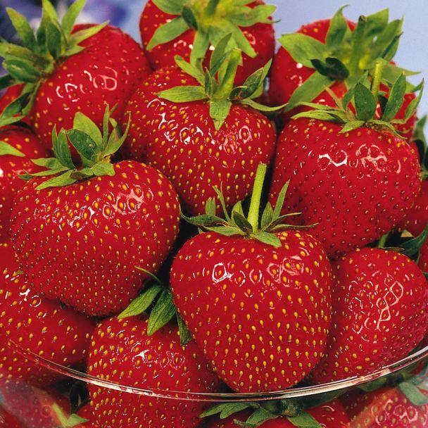 Aroma-Erdbeere 'Korona', mittelfrüh, Setzlinge