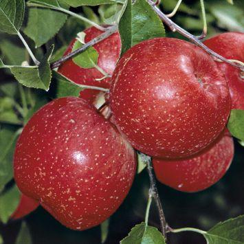Apfel 'Rubin Fuji'