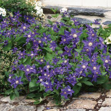 Blaue Bodendecker-Zwerg-Clematis