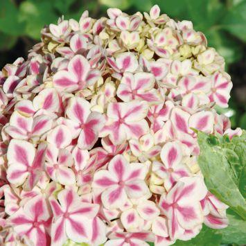Hortensie 'Peppermint Pink'