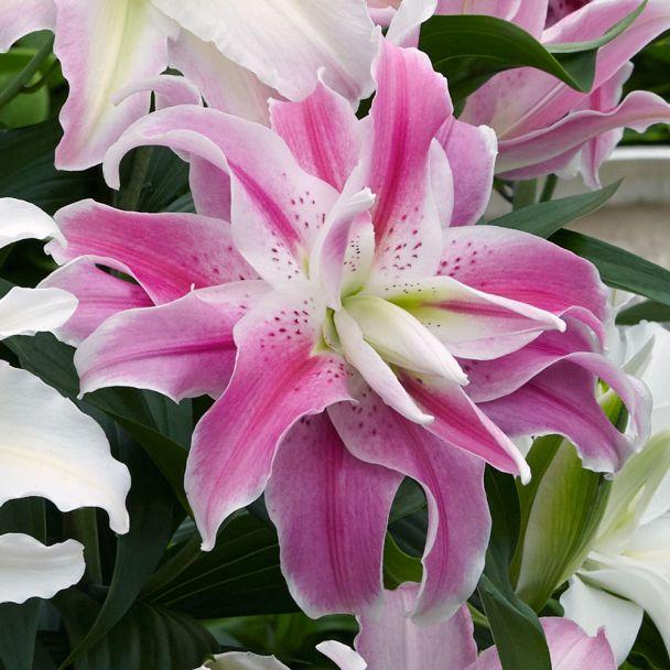 Orientalische Lilie Sweet Rosy