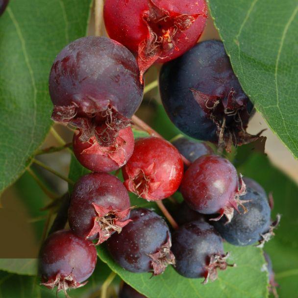 Pralina die Aroma-Frucht: 'Rainbow Pillar®'