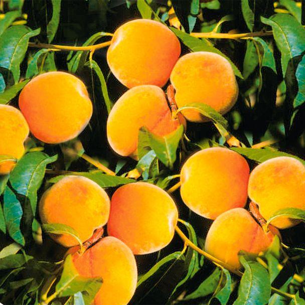 Pfirsich-Aprikose 'Pfirsicose®'