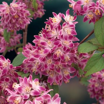 Deutzia hybrida 'Strawberry Field'